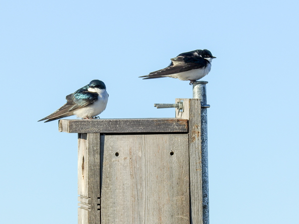 Early Morning Tree Sparrows on a Nest Box