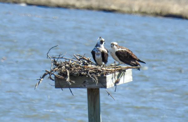A Pair of Ospreys on a Nesting Platform