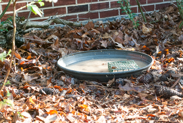 Suet Feeder in the Birdbath