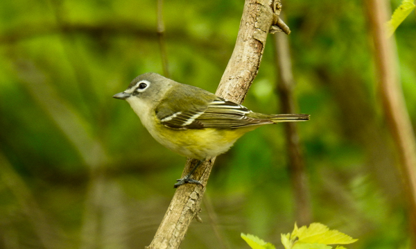 A Blue-Headed Vireo at Metzger Wildlife Area