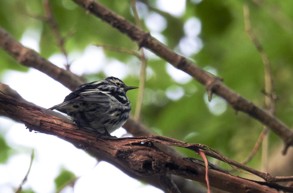 Black-and-White Warbler Near the West End of the Boardwalk