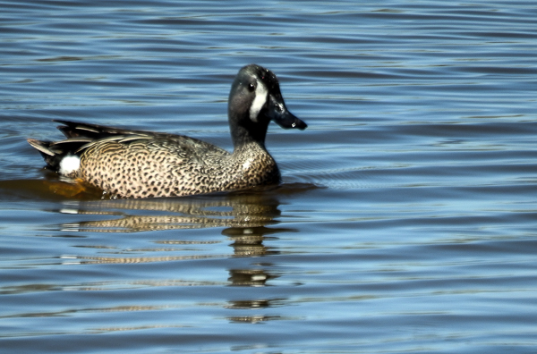 Blue-Winged Teal at the Magee Marsh Causeway