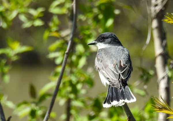 Eastern Kingbird at Turtle Creek Boat Access Area
