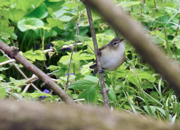 A Warbling Vireo at Metzger Wildlife Area