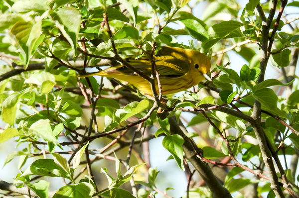 Yellow Warbler at Magee Marsh (p900)