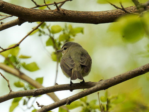 Warbling Vireo at Nearby Metzger Mash (p900)