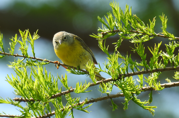 Nashville Warbler at Magee Marsh (p900)