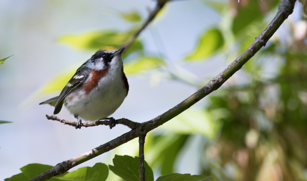 Bay-Breasted Warbler at Magee Marsh (Canon 7d Mark II 400 mm)