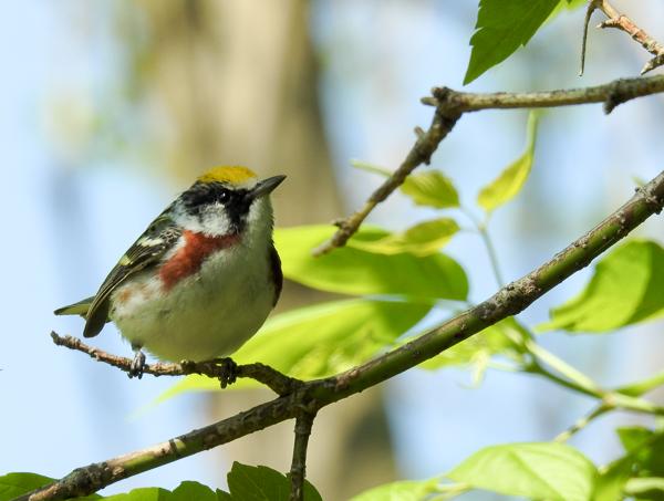 Chestnut-Sided Warbler (p900)