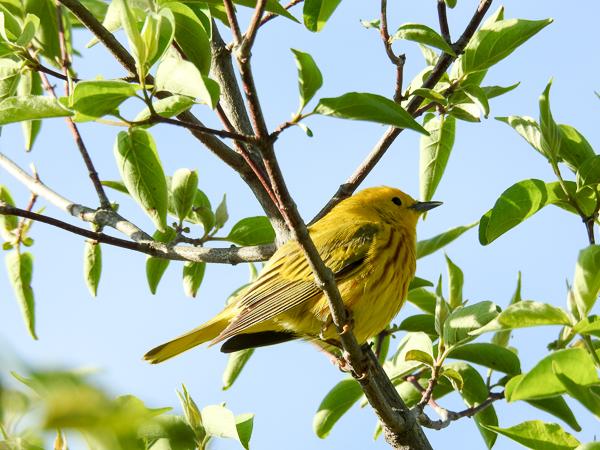 Yellow Warbler (p900)