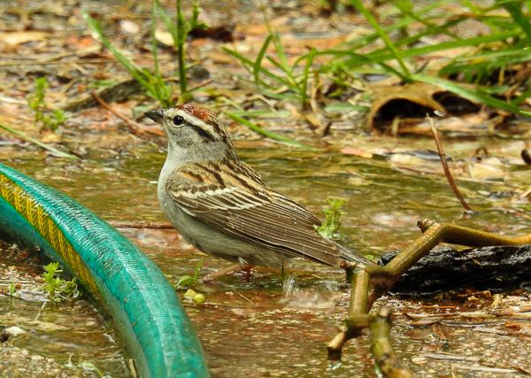 Chipping Sparrow Enjoying the Sprinkler