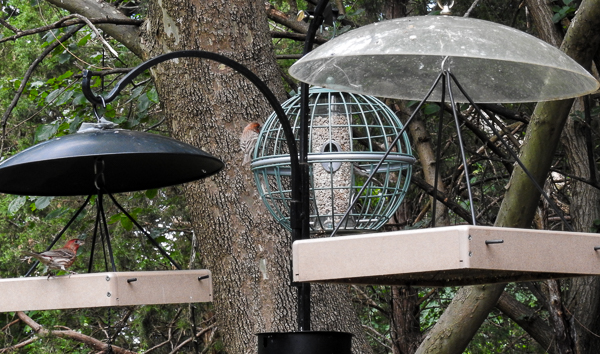 House Finches on the Globe Feeder and Platform Feeders