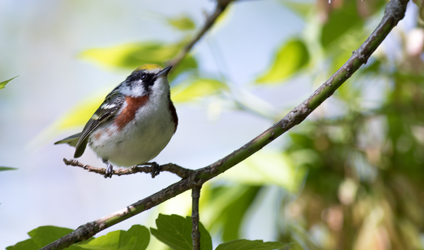 Chestnut-Sided Warbler at Magee Marsh (Canon 7d Mark II 400 mm)