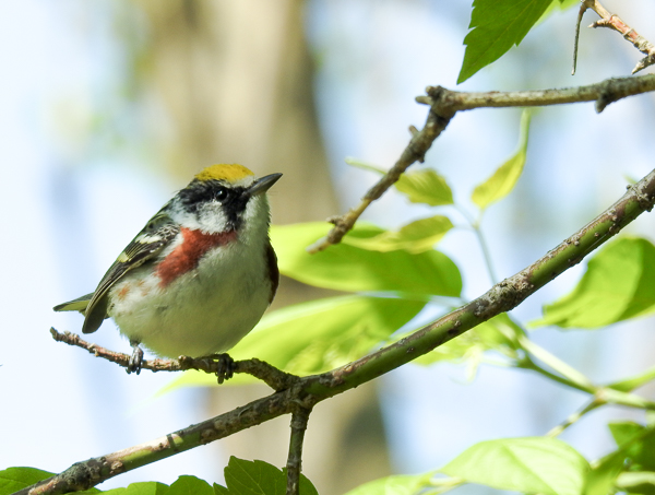 Chestnut-Sided Warbler at Magee Marsh (p900)