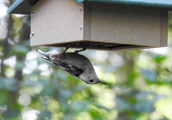 A White-Breasted Nuthatch at a Birds Choice Upside-Down Suet Feeder Filled with a Nut Block