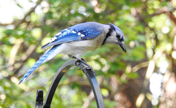 A Blue Jay Examines the Feeder's New Position