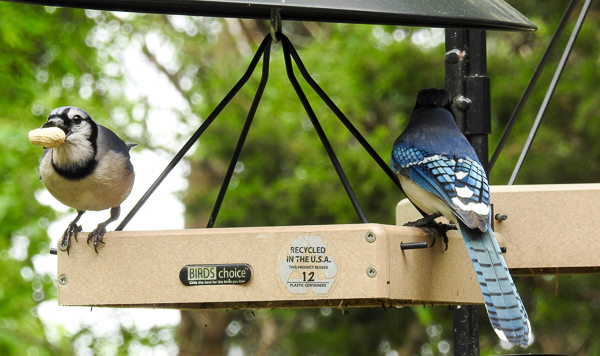 Blue Jays Enjoying Peanuts at Small Birds Choice Hanging Feeder