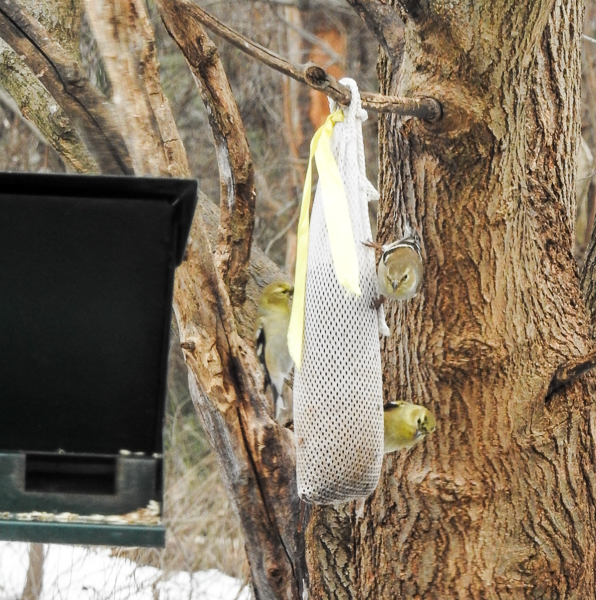 American Goldfinches Eating Nyjer From a Sock Feeder
