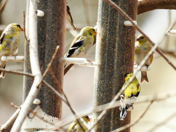 American Goldfinches at the Nyjer Feeders