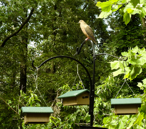 Mourning Dove on the Suet Feeder Pole