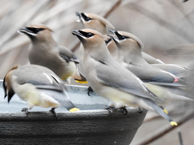 Cedar Waxwings at Back Bird Bath