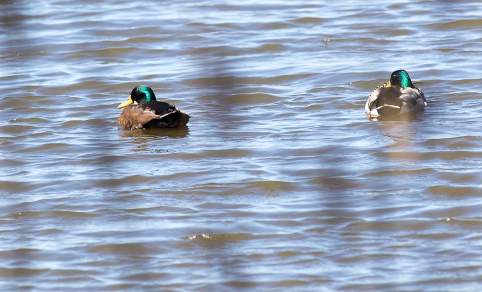 A Hybrid Mallard with a Regular Mallard