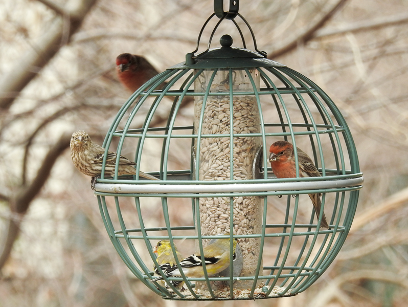 Goldfinches & House Finches on the Nuttery Globe Seed Feeder