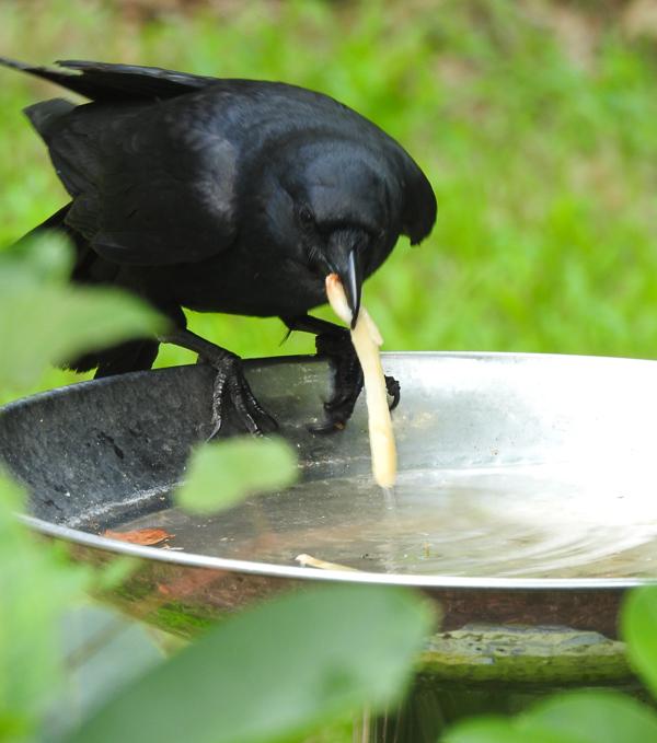 Fish Crow Soaking French Fries in the Birdbath