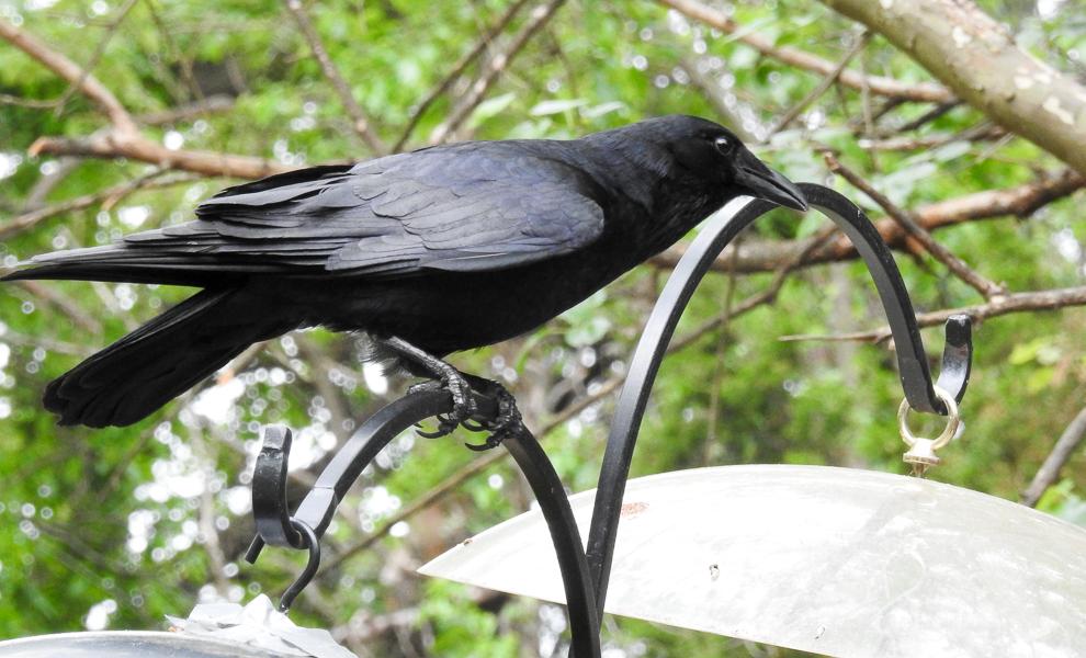 Fish Crow on Bird Feeder Pole