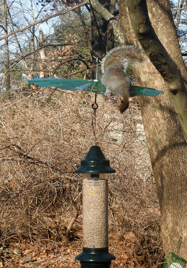 Squirrel Peeking Over a Baffle at A Squirrel Buster Feeder