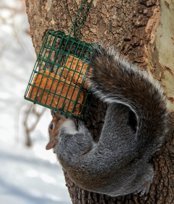Squirrel Eating Suet