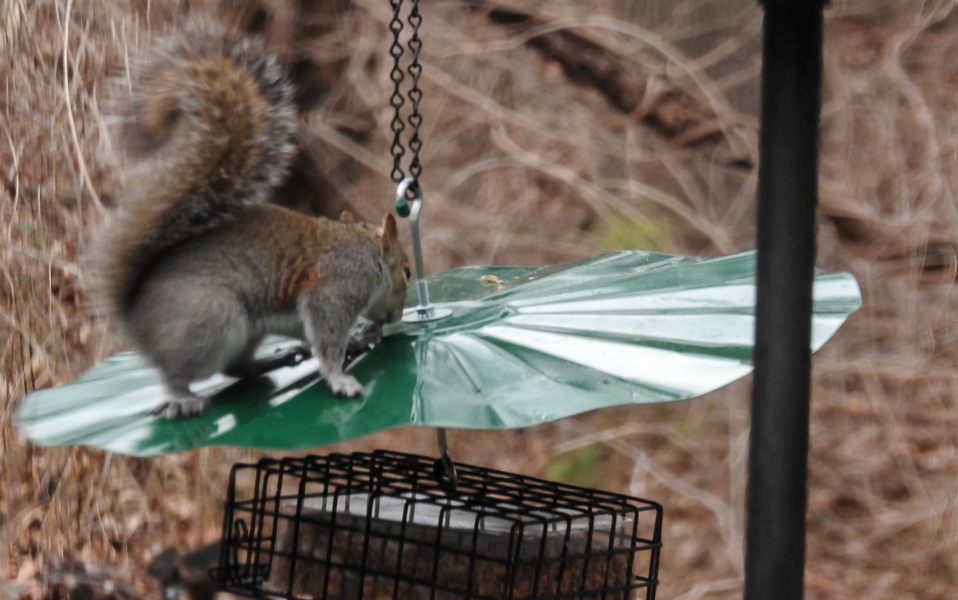 A Squirrel Thwarted By a Baffle