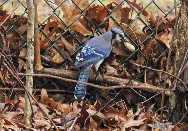 Blue Jay Caching a Peanut in a Leaf Pile