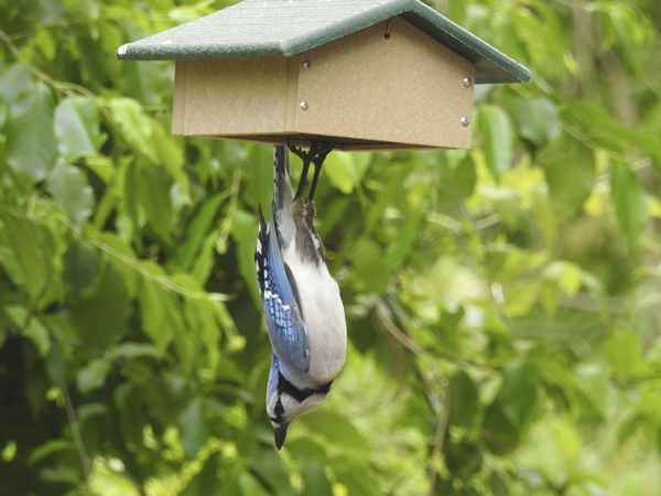 Blue Jay Hanging From A Suet Feeder