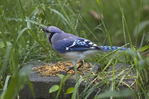 Blue Jay Eating Mealworms