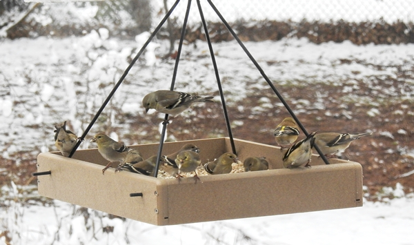American Goldfinches Eating Sunflower Hearts at a Hanging Platform Feeder