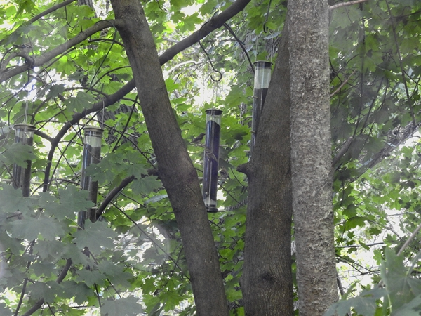 Four Nyjer Tube Feeders on Maple Tree