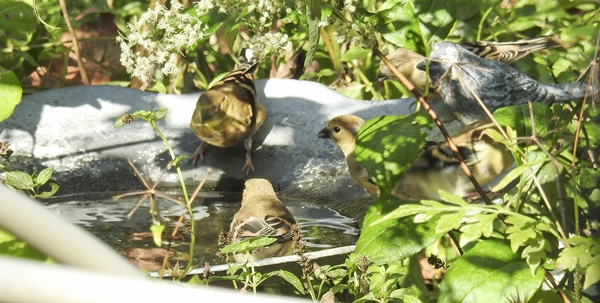 American Goldfinches at One of the Birdbaths