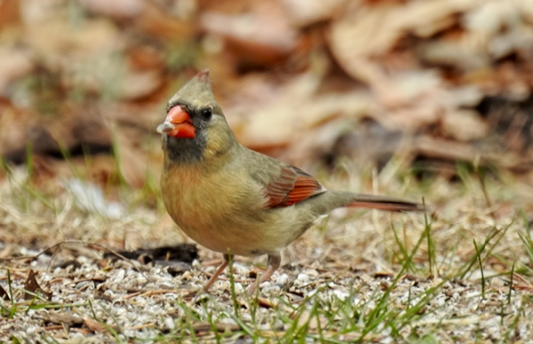 Female Northern Cardinal Eating Seed off the Ground