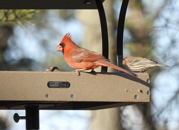 Northern Cardinal and House Finches in Pole Mounted Platform Feeder