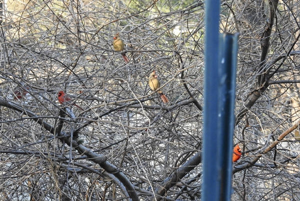 Male and Female Cardinals Waiting in a Wisteria Covered Tree