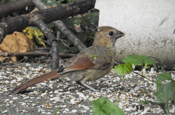 Immature Northern Cardinal Picking Up Seed on the Ground