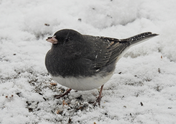 Dark-Eyed Junco Eating Nyjer Seed in the Snow