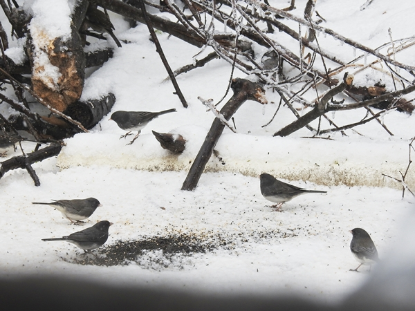 Dark-Eyed Juncos Eating Seed Off the Snowy Ground