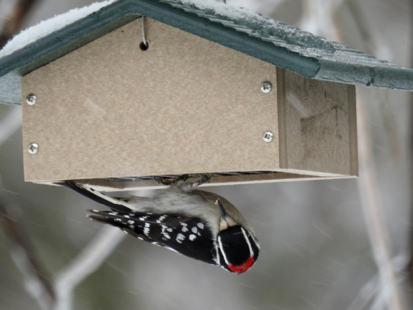 Male Downy Woodpecker Eating Suet