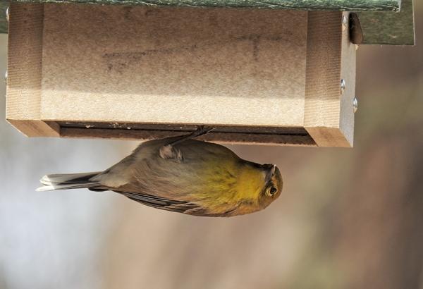 Pine Warbler Eating Suet