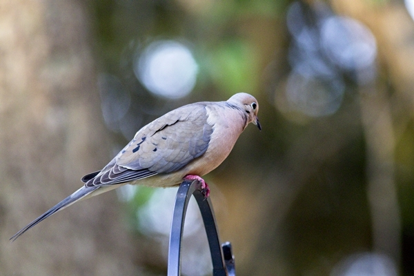 Mourning Dove on Top of Shepherd's Hook Pole
