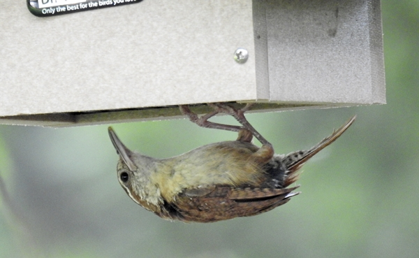 Carolina wren Eating Suet