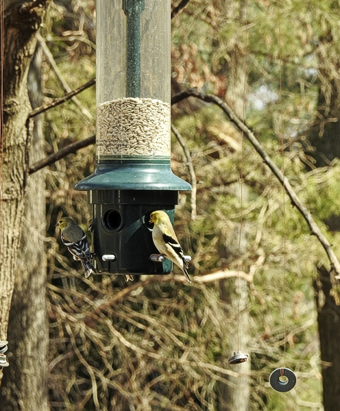 American Goldfinches Eating Inside Test Wires
