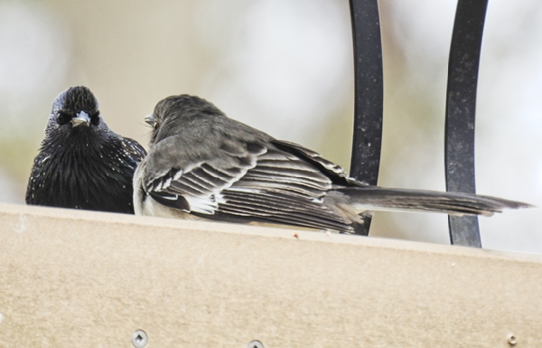 European Starling and Northern Mockingbird Facing Off Over Dried Mealworms